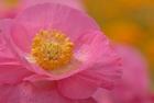 ピンクのポピー
