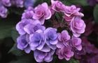 近所に咲く紫陽花