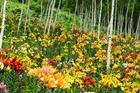 富士見高原「白樺ゆり園」
